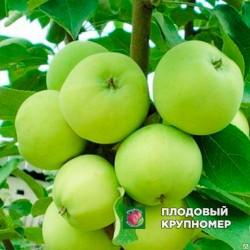 """Яблоня """"Папировка"""" (средние сорта)"""