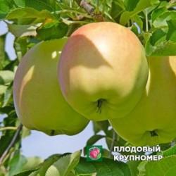 """Яблоня """"Пепинка Золотая"""" (средние сорта)"""