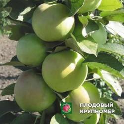 """Яблоня """"Пионер"""" (Колоновидные яблони)"""