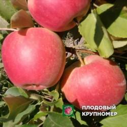 "Яблоня ""Пирос"" (летний сорт)"
