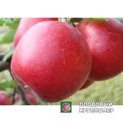 """Яблоня """"Прима"""" (средние сорта)"""