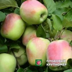 """Яблоня """"Пямяти Есаула"""" (средние сорта)"""