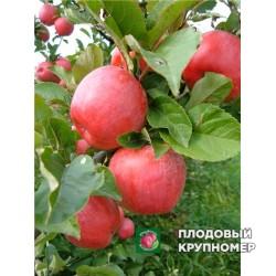 """Яблоня """"Сава"""" (средние сорта)"""
