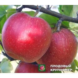 "Яблоня ""Слава Победителям"" (средние сорта)"