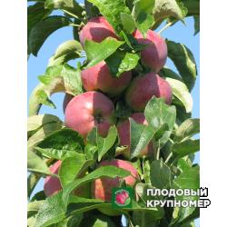 """Яблоня """"Трайдент"""" (Колоновидные яблони)"""