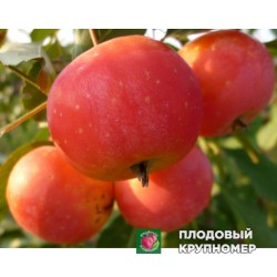 """Яблоня """"Верджиния креб"""" (Райские яблочки)"""
