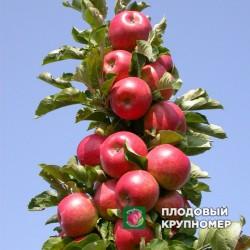 """Яблоня """"Вожак"""" (Колоновидные яблони)"""