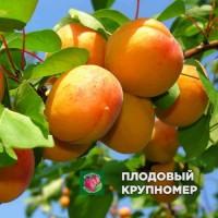 "Абрикос ""Ананасный"""