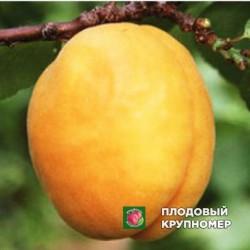 """Абрикос """"Ананасный Цюрупинский"""""""