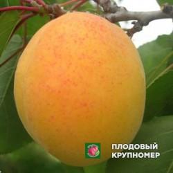 "Абрикос ""Дивный"""
