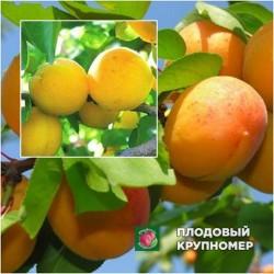 Слива Персиковая - Абрикос Ананасный