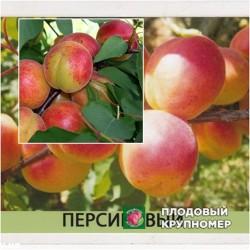 Персикова - Мечта