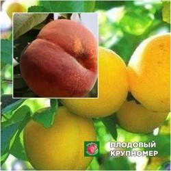 Абрикос Ананасный - Персик Инжирный