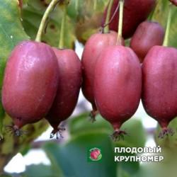 """Актинидия """"Пурпурная"""""""