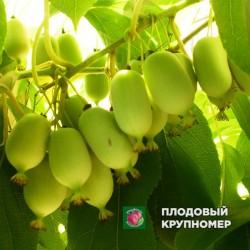 """Актинидия """"Сентябрьская"""""""