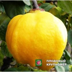 """Айва """"Яблоковидная"""""""