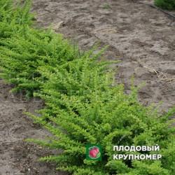 "Барбарис зеленый ""Green carpet"""