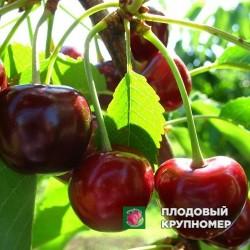 """Черешня """"Гриот Львовский"""""""