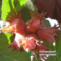 "Фундук ""Академик Яблоков"""