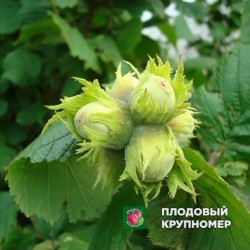 """Фундук """"Дар Павленка"""""""