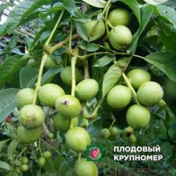 """Грецкий орех """"Кочерженко"""""""