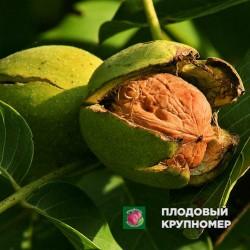 "Грецкий орех ""Прикарпатский"""