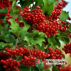 """Калина """"Крупноплодная"""""""