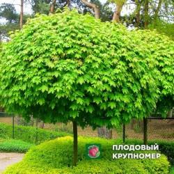 """Клен шаровидный """"Globosum"""" (штамб - ком)"""