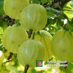"""Крыжовник """"Белорусский сахарный"""""""