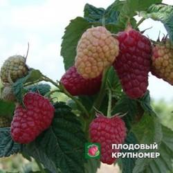 """Малина """"Брусиловская"""""""