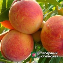 """Персик """"Августовский"""""""