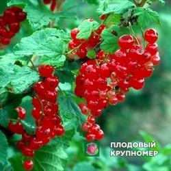 """Смородина красная поричка""""Огни Урала"""""""