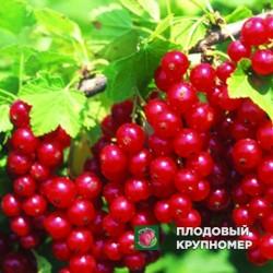 """Смородина красная поричка""""Святомихайловская"""""""
