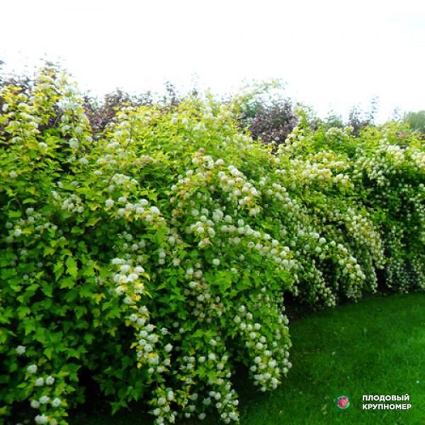 Саженцы Пузыреплодник зеленый калинолистный