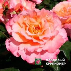 "Роза ""Августа Луиза"""