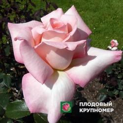 """Роза """"Арженталь"""""""