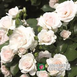 "Роза ""Аспирин Роуз"""