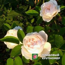 "Роза ""Винчестер Кафедрал"""