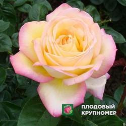 "Роза ""Глория Дей"""