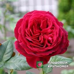 "Роза ""Госпел"""