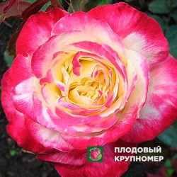 """Роза """"Дабл Делайт"""""""