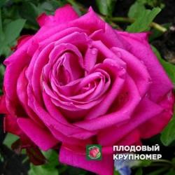 "Роза ""Дуфтрауш"""