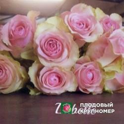 "Роза ""Забелле"""