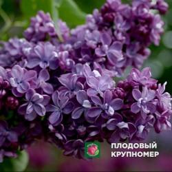 "Сирень ""Виолетта"""