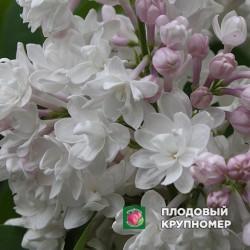 "Сирень ""Красавица Москвы"""