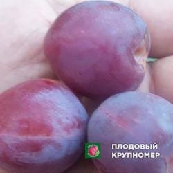 """Слива """"Владимировская"""""""