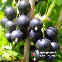 """Смородина черная """"Валовая"""""""