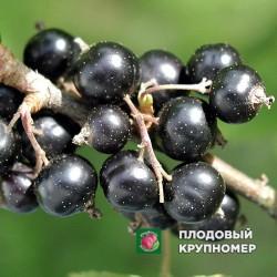 """Смородина черная """"Жемчужная"""""""