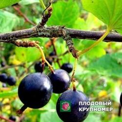 """Смородина черная """"Инвикта"""""""