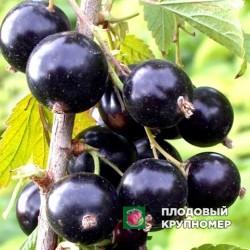"""Смородина черная """"Киевский Великан"""""""